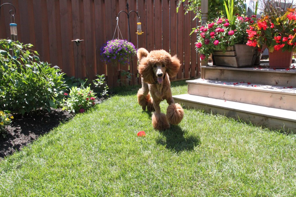 The Red Poodle Thread-finnegan-backyard.jpg