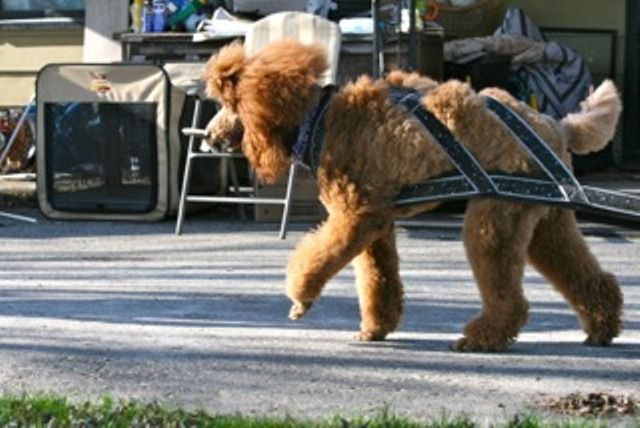 Loki is a sled poodle!-finneganpull.jpeg