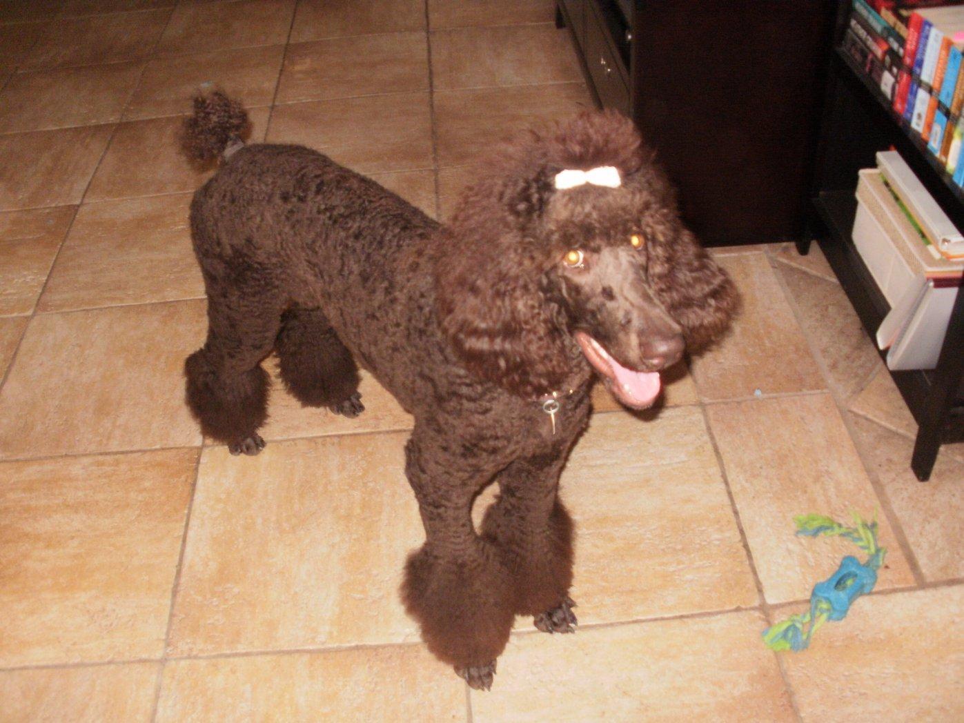 Poodle Cuts Clips amp Styles  pinterestcom
