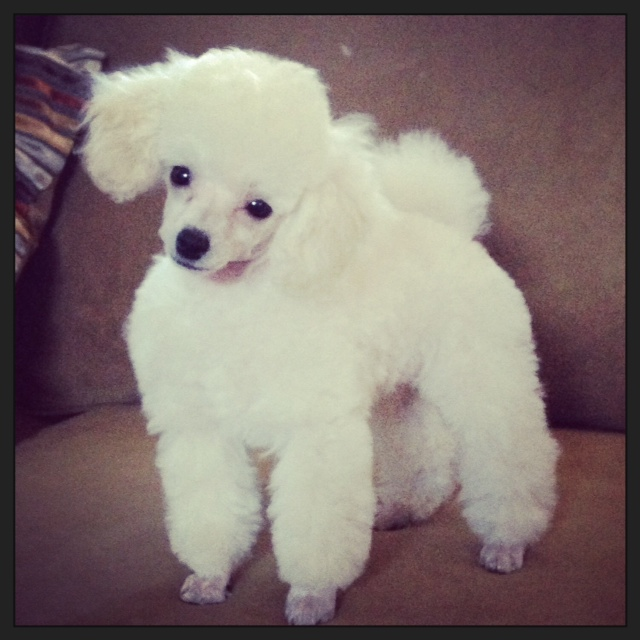crazy poodle haircuts