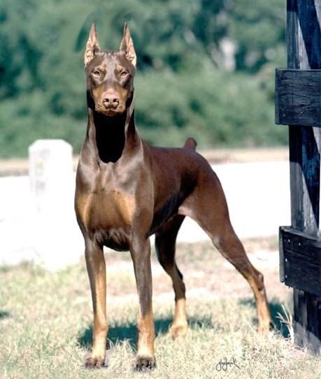 Rottweiler tail length