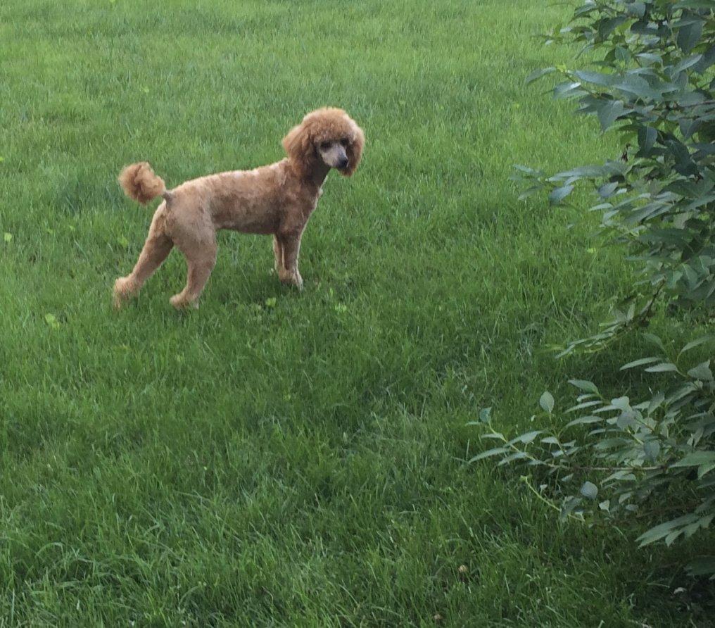 How Short Should A Summer Coat Be Poodle Forum