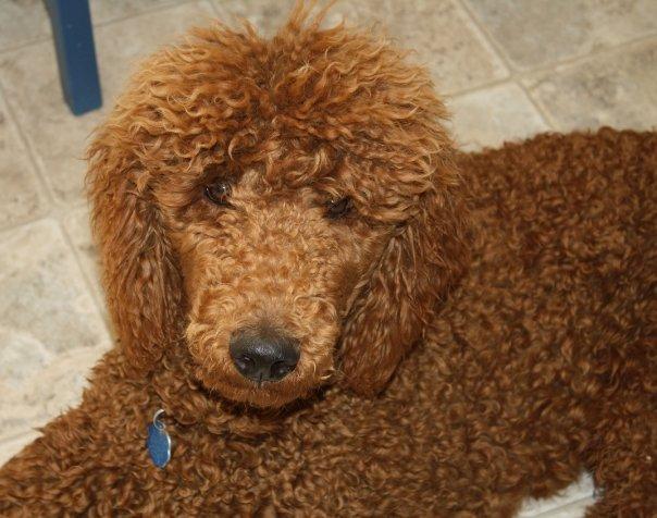 Red Standard Poodles? fact or fiction? - Poodle Forum - Standard