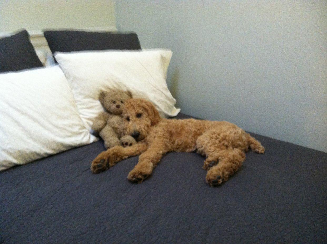 Resultado de imagen para poodle in bed
