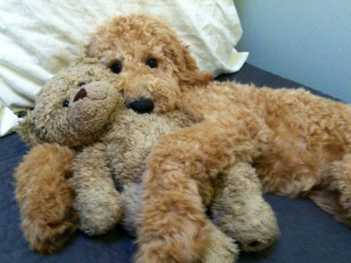 What Are The Dogs That Look Like Teddy Bears