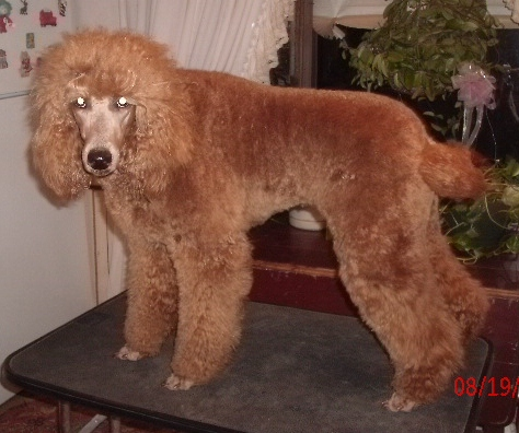 Adult toy poodle