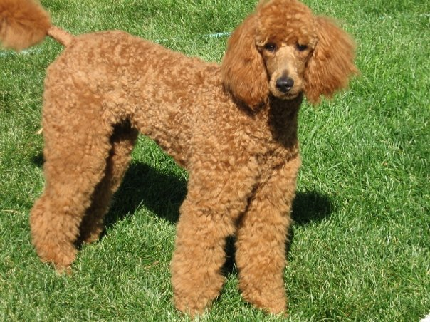 The Red Poodle Thread-gemma.jpg