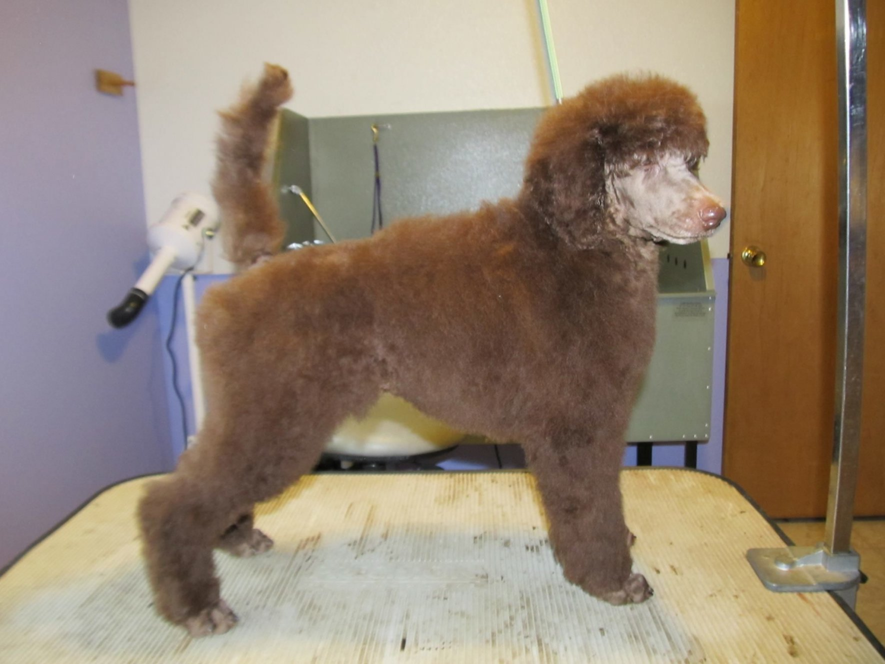 Does anyone have a silver beige? - Poodle Forum - Standard