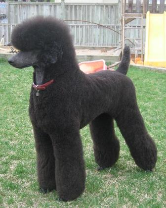 Poodle Cuts / Pictures of different poodle cuts-germantrim.jpg