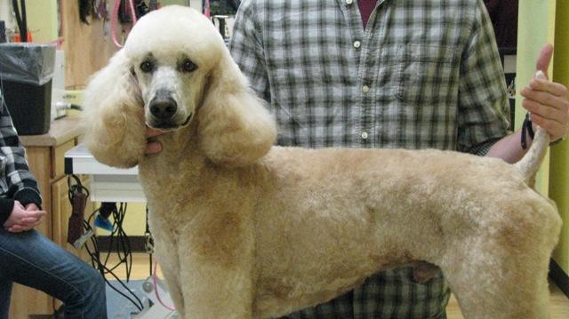 Utah Rescue Standard Poodle - Poodle Forum - Standard Poodle