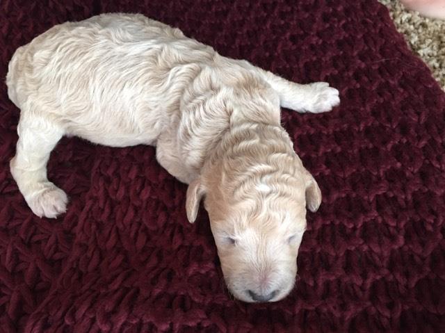 colour change in cream apricot standard pup poodle forum