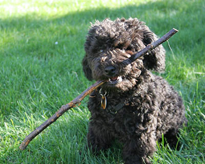 Mini Grooming Poodle Forum Standard Poodle Toy Poodle