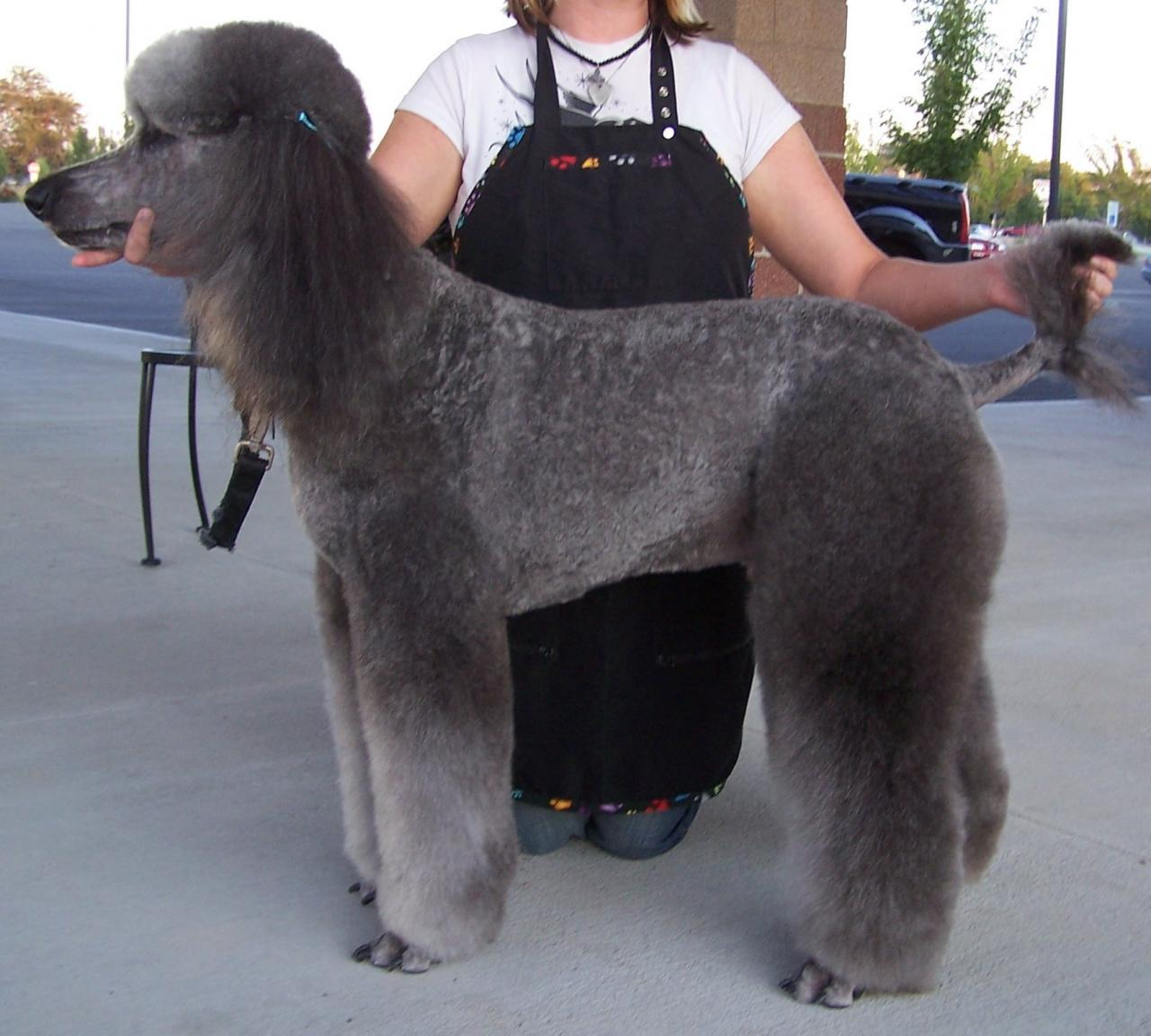 Pics of a Poodle in a Lion Trim?-graylambcut.260142846_large.jpg