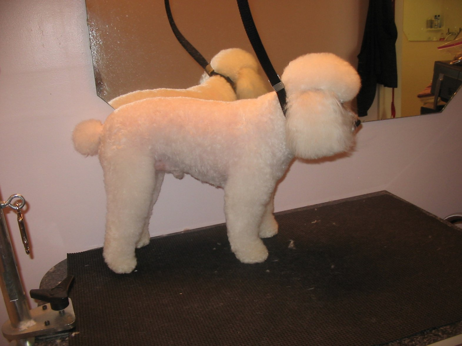 Can I See Some Pics Of Shorter Cuts Poodle Forum Standard