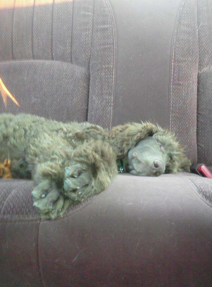 The Brown Poodle Thread-hibbert-18-weeks.jpg