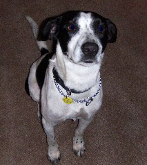 Beagle/Pointer mix?? We have no idea-hpim0284.jpg