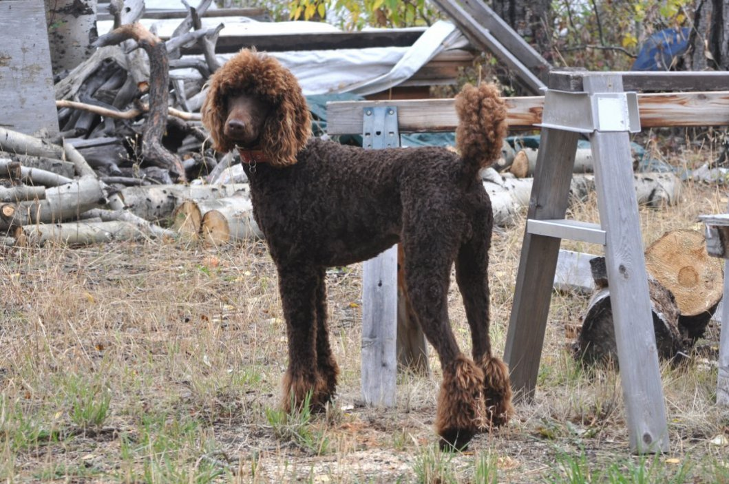 Poodle Cuts / Pictures of different poodle cuts-hunting.jpg