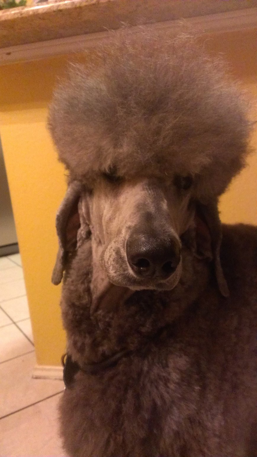 The Silver Poodle Thread-imag0829.jpg