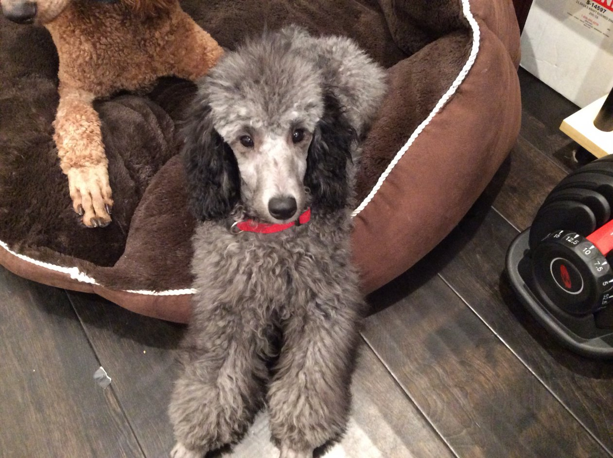 The Silver Poodle Thread-image.jpg