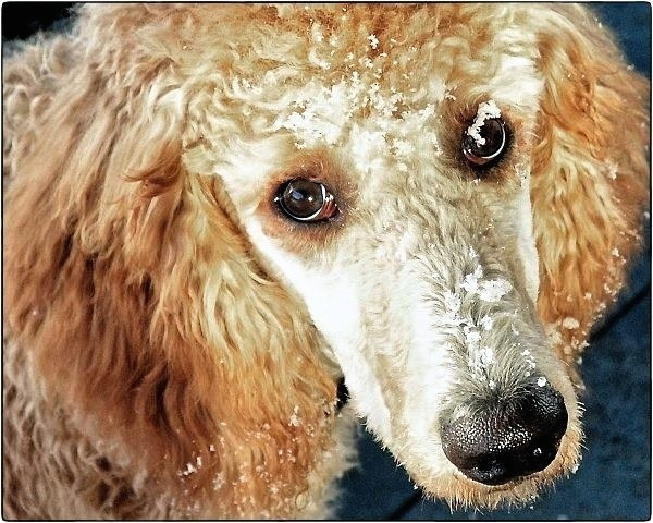 Mars the orange poodle-image.jpg