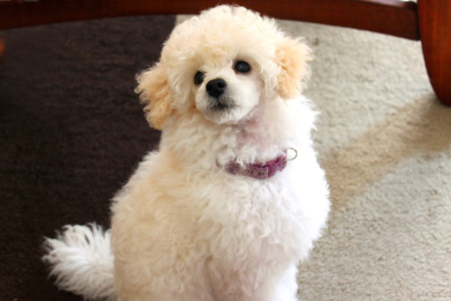 California Breeder -- Poodle passion-image.jpg