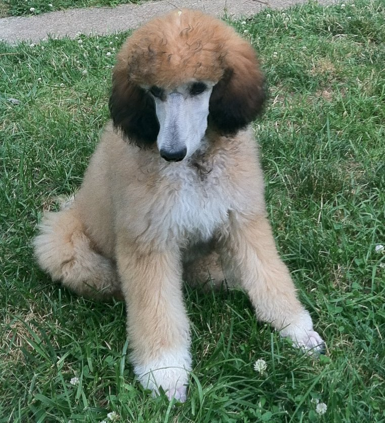 My sable standard, Nikita - Poodle Forum - Standard Poodle, Toy ...