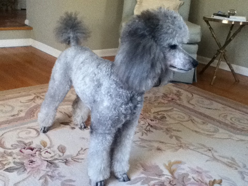 Personality Change With Haircut Page 2 Poodle Forum Standard
