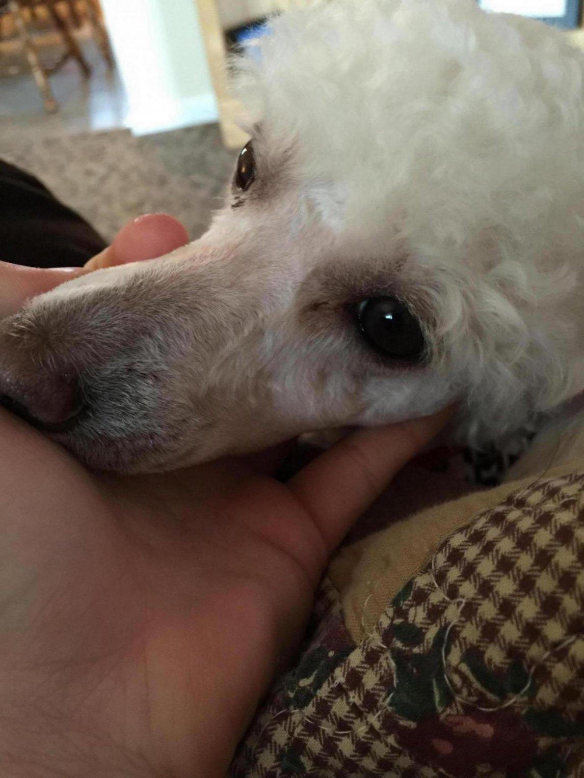 Tear Stains On Poodles Goldenacresdogs Com