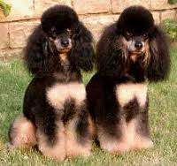 Favorite poodle color?-images.jpg