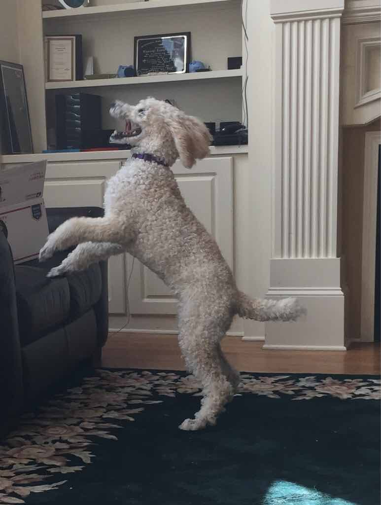 How much more did your poodle grow after 6 months poodle forum how much more did your poodle grow after 6 months imageuploadedbypetguide1430257147268149 nvjuhfo Images