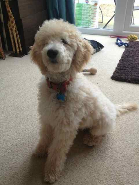 Barney's first trip to the groomers-imageuploadedbypg-free1352742838.359580.jpg