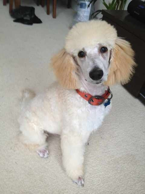 Barney's first trip to the groomers-imageuploadedbypg-free1352742937.834073.jpg