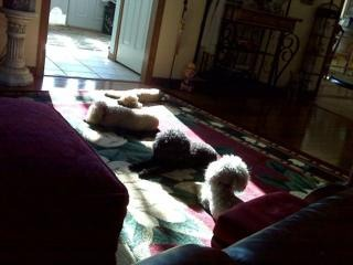 My white shag rug is dead, Poodle proof options?-imageuploadedbypg-free1354839052.277219.jpg