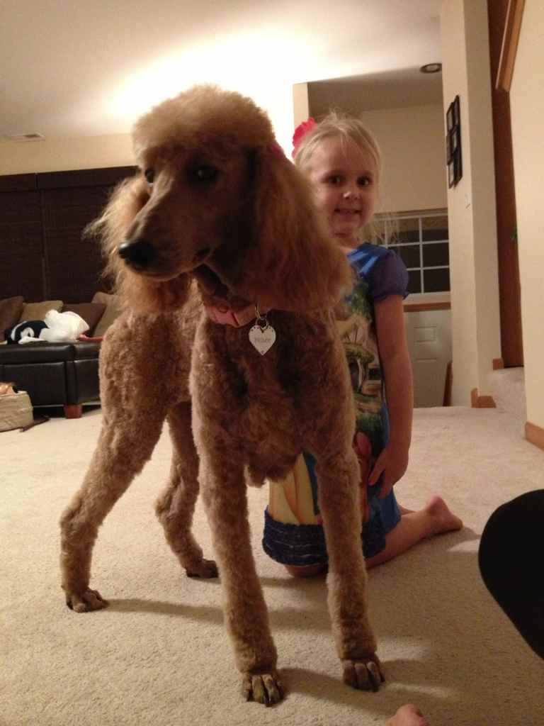 New Standard Poodle Owner-imageuploadedbypg-free1355599041.568250.jpg