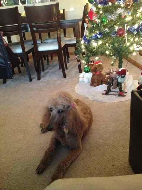 New Standard Poodle Owner-imageuploadedbypg-free1355599161.894053.jpg