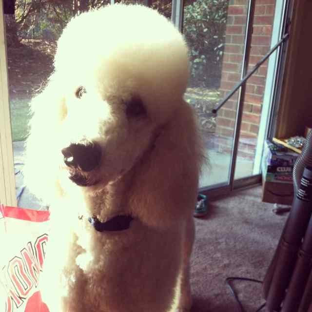 The White Poodle Thread-imageuploadedbypg-free1356291288.592037.jpg