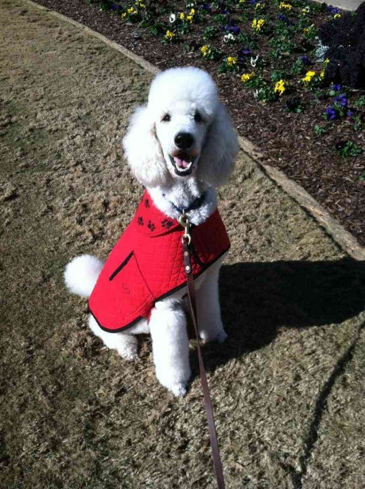 The White Poodle Thread-imageuploadedbypg-free1356291446.685627.jpg