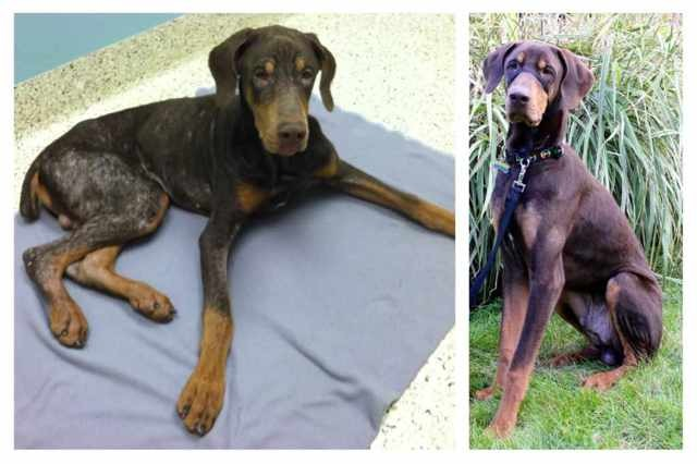 Doberman person seeking silver Mini Poodle in the future. :)-imageuploadedbypg-free1356530524.425067.jpg