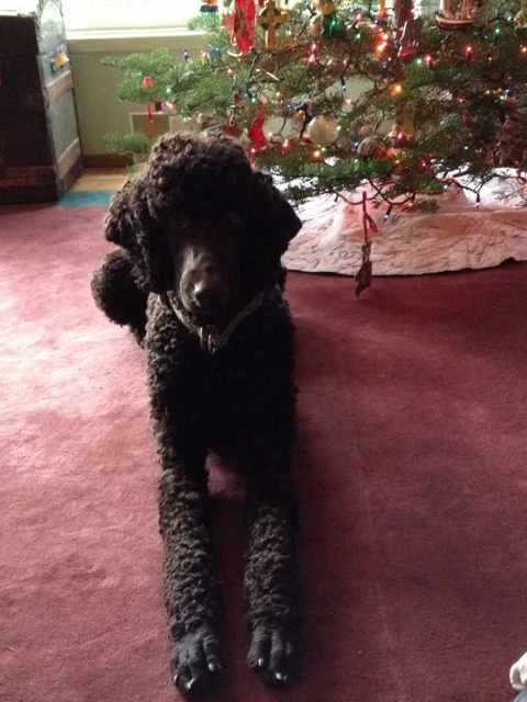 The Brown Poodle Thread-imageuploadedbypg-free1356728990.645417.jpg