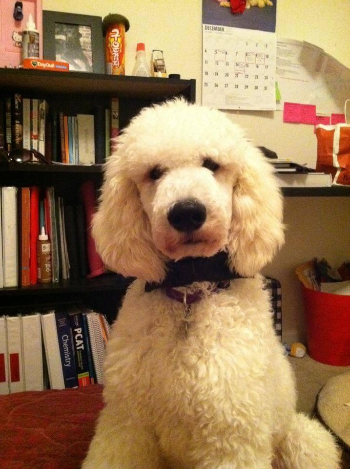 Poodles that look like Doodles-imageuploadedbypg-free1356795328.195105.jpg