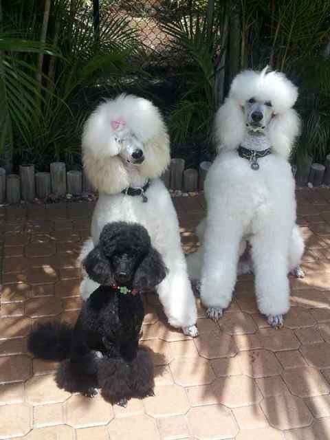 Sharwood Poodles?-imageuploadedbypg-free1357320945.687044.jpg