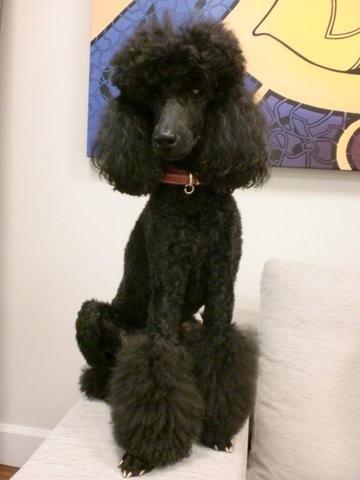 Sharwood Poodles?-imageuploadedbypg-free1357320966.343410.jpg