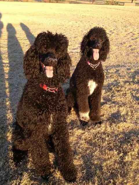 Standard Poodle breeders in Southwest U.S. area-imageuploadedbypg-free1358313417.159291.jpg