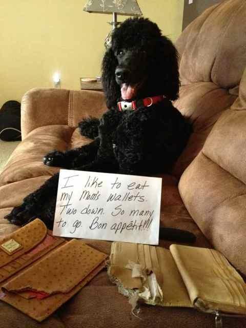 Disgruntled Poodle-imageuploadedbypg-free1358338126.891961.jpg