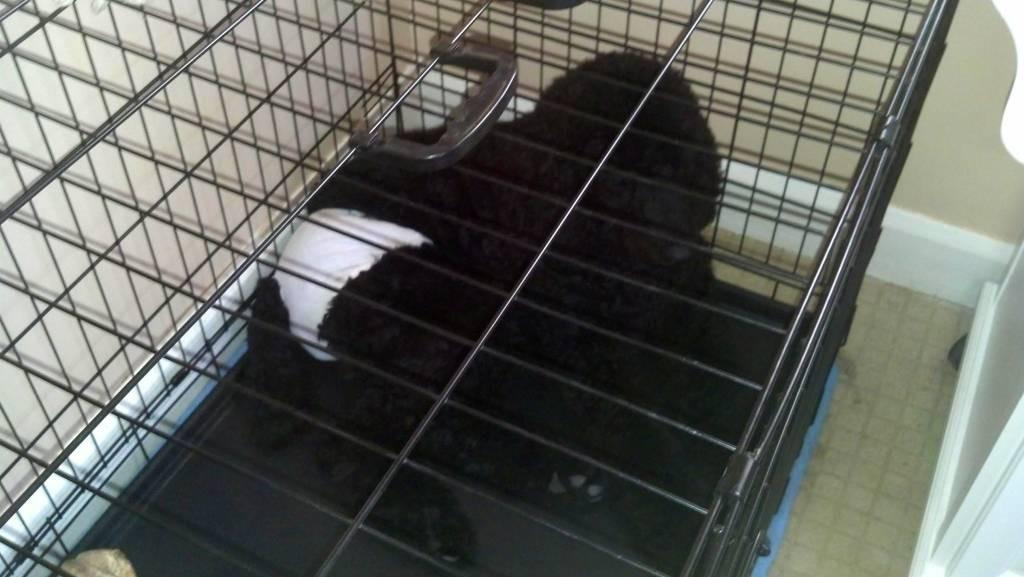 Disgruntled Poodle-imageuploadedbypg-free1359296879.512471.jpg