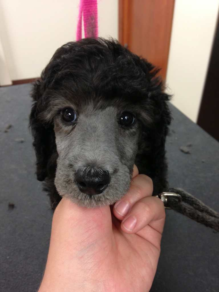 The Silver Poodle Thread-imageuploadedbypg-free1370663699.597690.jpg