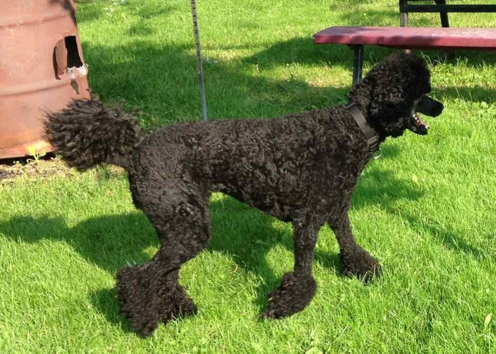Poodle weight-imageuploadedbypg-free1372888423.738755.jpg