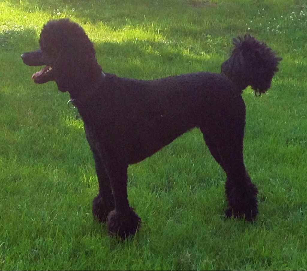 Poodle weight-imageuploadedbypg-free1372888450.476853.jpg