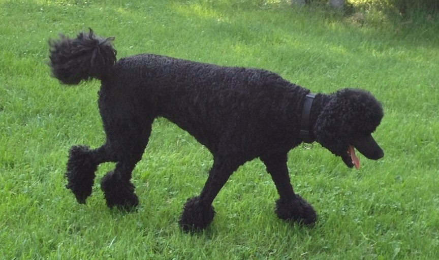 Poodle weight-imageuploadedbypg-free1372888464.693797.jpg