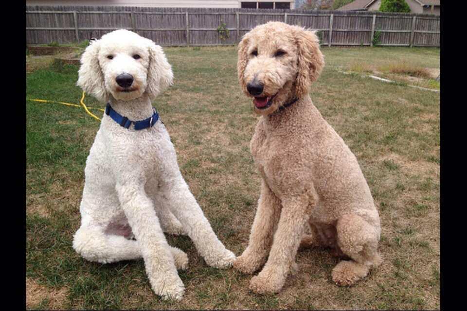 Most Obedient Dog Breeds Wiki